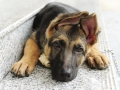 german-shepherd-dog-puppy.jpg